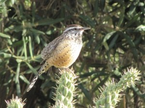 The Cactus Wren's song is more like a cranking engine than an operatic aria (Photo Bob Bowers)