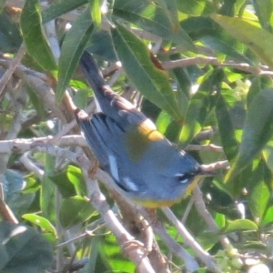 Migratory Northern Parula at O ka'an Resort, Piste, Mexico (photo Bob Bowers)