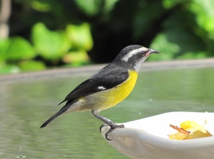You don't need playback to get a good look at a Bananaquit (photo Bob Bowers)