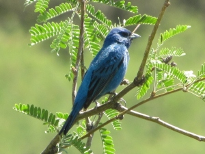 Playback helped find this rare Indigo Bunting near Peppersauce Canyon (photo Bob Bowers)