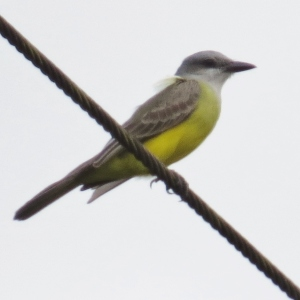 Playback proved this bird was a Couch's Kingbird, not his lookalike, the Tropical Kingbird (photo Bob Bowers)