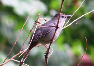 A mimic like mockingbirds, the Gray Catbird is common back east (photo Bob Bowers)