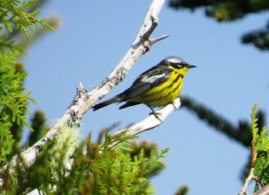 The stunning male Magnolia Warbler (photo Bob Bowers)