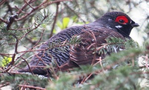 Spruce Grouse in Moosehorn Refuge, Maine (photo Prudy Bowers)