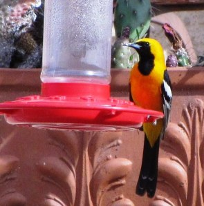 Male Hooded Oriole at hummingbird feeder  (photo Bob Bowers)