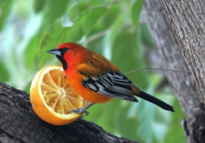 Streak-backed Oriole, Alamos, Mexico  (photo Bob Bowers)