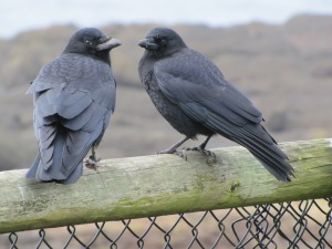 American Crows in Oregon (photo Bob Bowers)