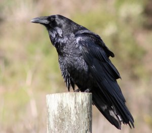 Common Raven (photo copyright David Hofmann)