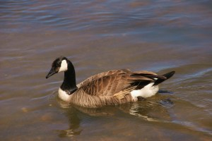 Canada Goose (Photo Bob Bowers)
