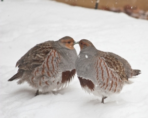 Gray Partridges (Photo David Mitchell, Creative Commons)