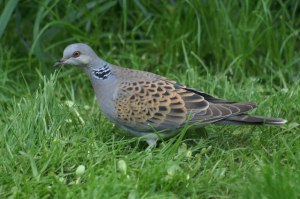 Turtle Dove (Photo courtesy Mike Pennington)