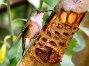 Broad-tailed Hummingbird at sapsucker wells (photo Bob Bowers)