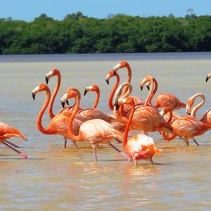 American Flamingos, Celestun, Mexico (photo Bob Bowers)