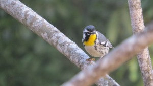 Yellow-throated Warbler, Uxmal, Mexico (photo Bob Bowers)