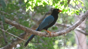 Yucatan Jay (photo Prudy Bowers)