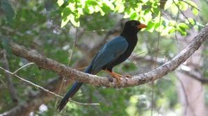 Yucatan Jay (photo Prudy Bowers)