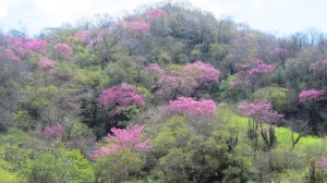 Blooming Amapa trees, Mexico's Copper Canyon  (photo Prudy Bowers)