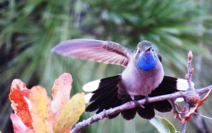 Blue-throated Hummingbird, Posada Barrancas, Mexico  (Photo Bob Bowers)