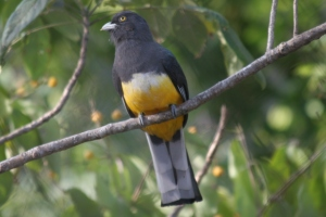 Citreoline Trogon, La Bajada, Mexico (photo Bob Bowers)