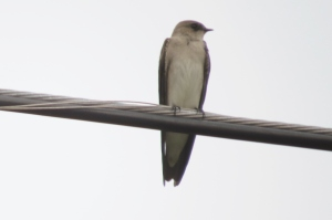 Drab Northern Rough-winged Swallow (photo Bob and Prudy Bowers)