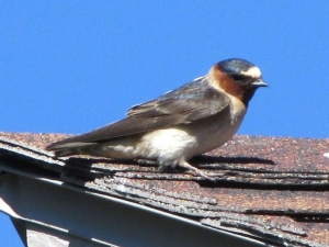 Cliff Swallow on condo roof in Keystone, Colorado (photo Bob and Prudy Bowers)