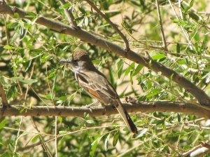 Brown-crested Flycatcher, CDO Wash adjacent to SaddleBrooke (photo Bob and Prudy Bowers)