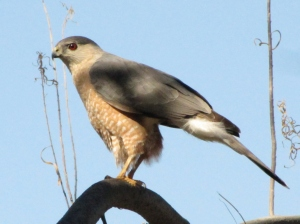 Cooper's Hawk at Catalina Regional Park (photo Bob and Prudy Bowers)