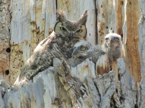 Great Horned Owl family on the Canada del Oro Wash (photo by Bob and Prudy Bowers)