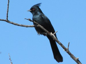 Mistletoe addict, the Phainopepla (photo Bob and Prudy Bowers)
