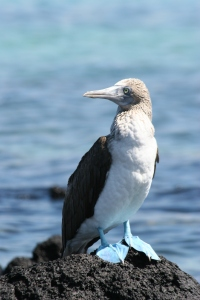 Blue-footed Booby (photo Bob and Prudy Bowers)