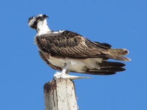 Rocky Point Osprey with dinner (photo Bob and Prudy Bowers)