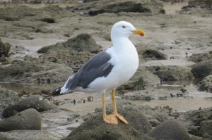 Yellow-footed Gulls are endemic to the Sea of Cortez