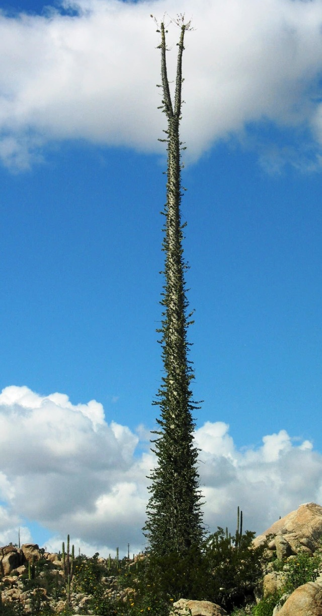 50-foot Boojum Tree, Baja California