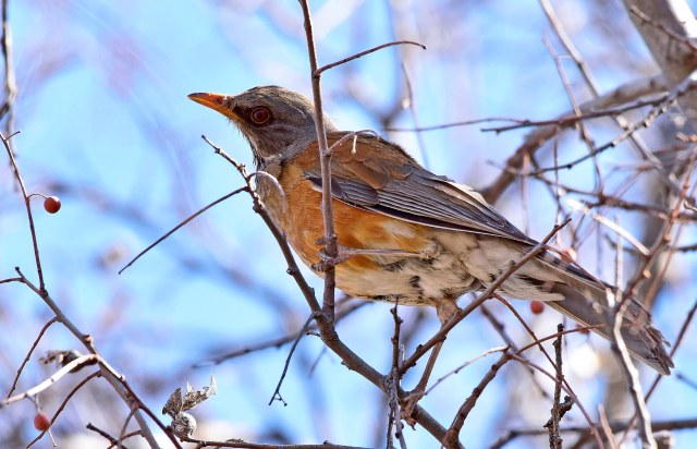 Rufous-backed Robin, Catalina State Park (photo Jerry Schudda)