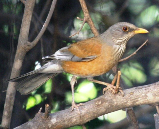 Rufous-backed Robin in Alamos, Mexico (photo Bob and Prudy Bowers)