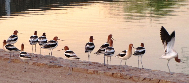 A rare sight in SaddleBrooke, American Avocets  (photo Bob and Prudy Bowers)
