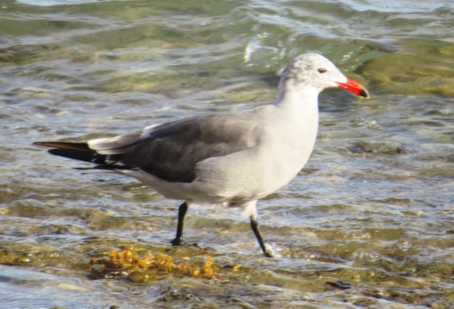 Heermann's Gull in homeland Mexico (photo Bob and Prudy Bowers)