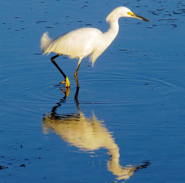 Snowy Egret, SB Ranch visitor (photo Bob and Prudy Bowers)
