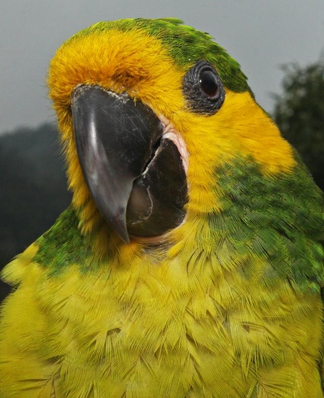 yellowearedparrot-ognorhynchusicterotis2