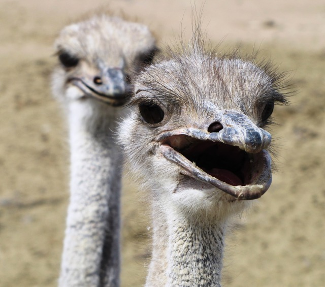 up-close-and-personal-with-ostriches