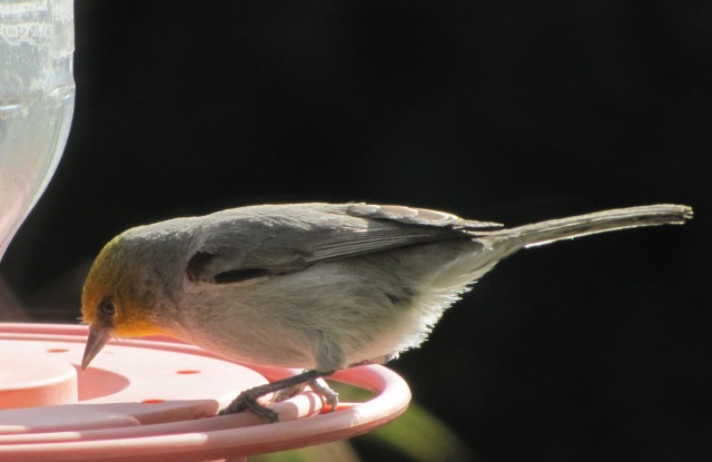 verdin-eating-dried-sugar