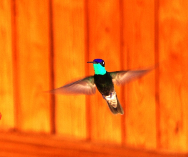 Magnificent Hummingbird, Mirador Hotel