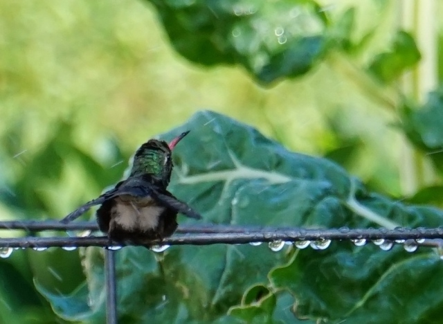 Showering hummer on tomato cage