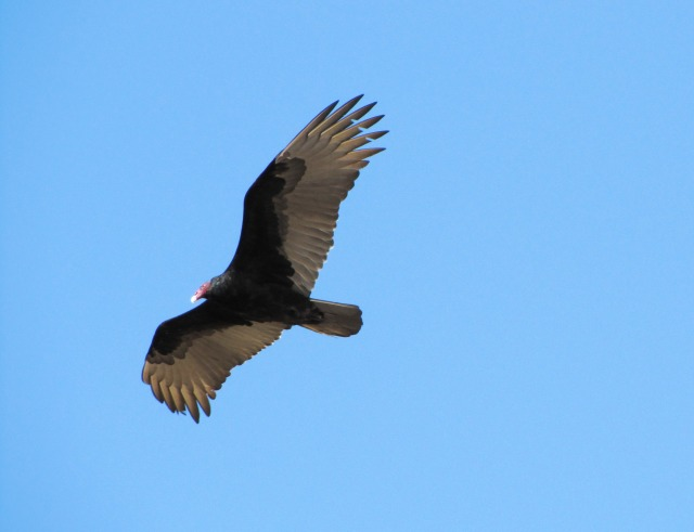 A Soaring Turkey Vulture