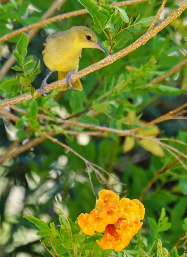 Female Hooded Oriole with tacoma blossom