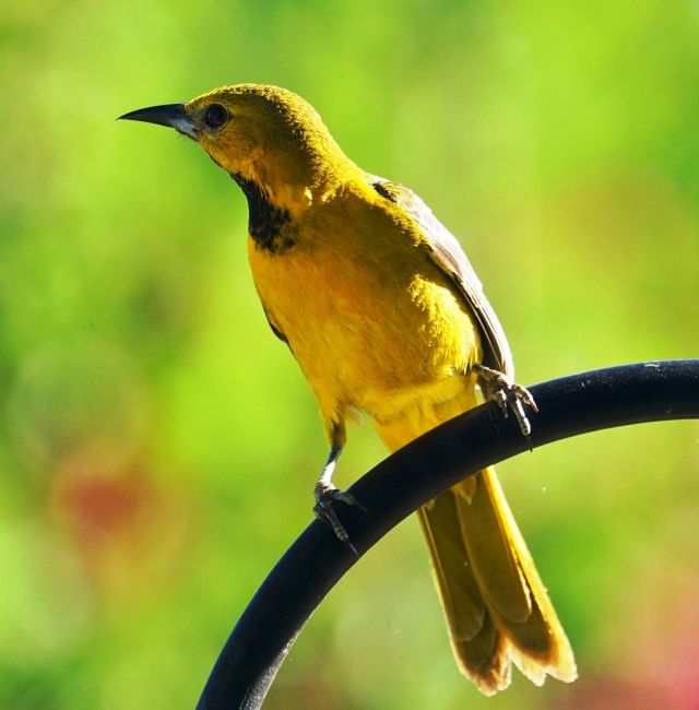 Newly fledged male Hooded Oriole