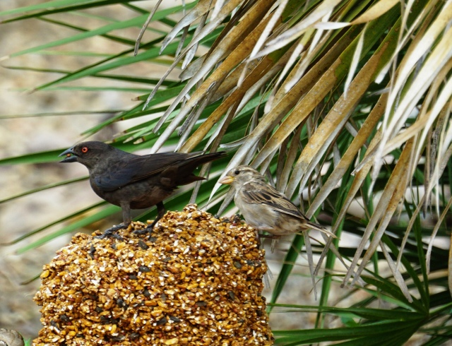 Patient House Sparrow yields to hungry cowbird