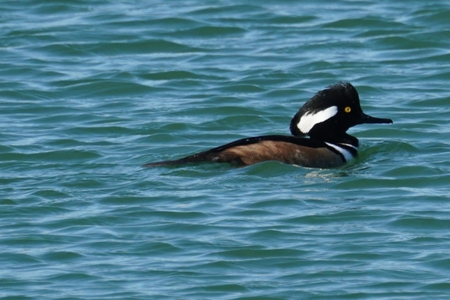 Hooded Merganser, Fountain Hills Lake.JPG