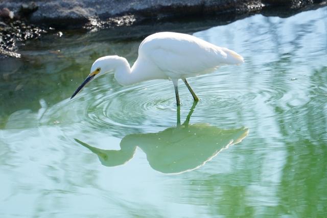 Snowy Egret, Fountain Hills.JPG