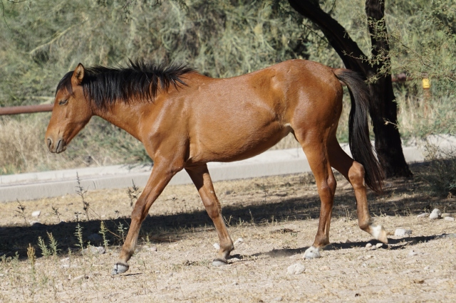 Wild Horse at Saguaro Lake.JPG
